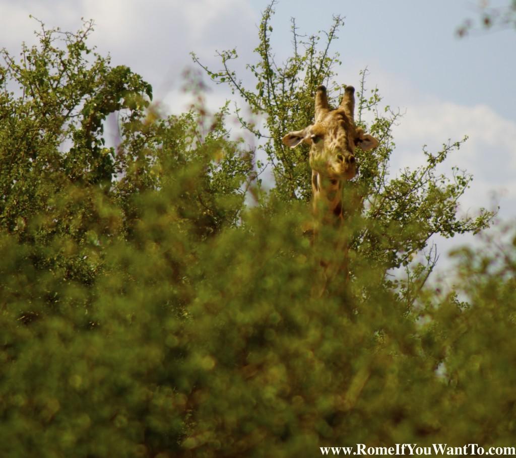 Kenya Giraffe 7