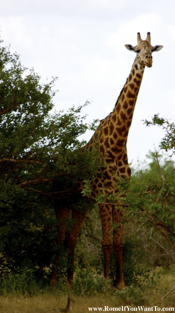 Kenya Giraffe 6