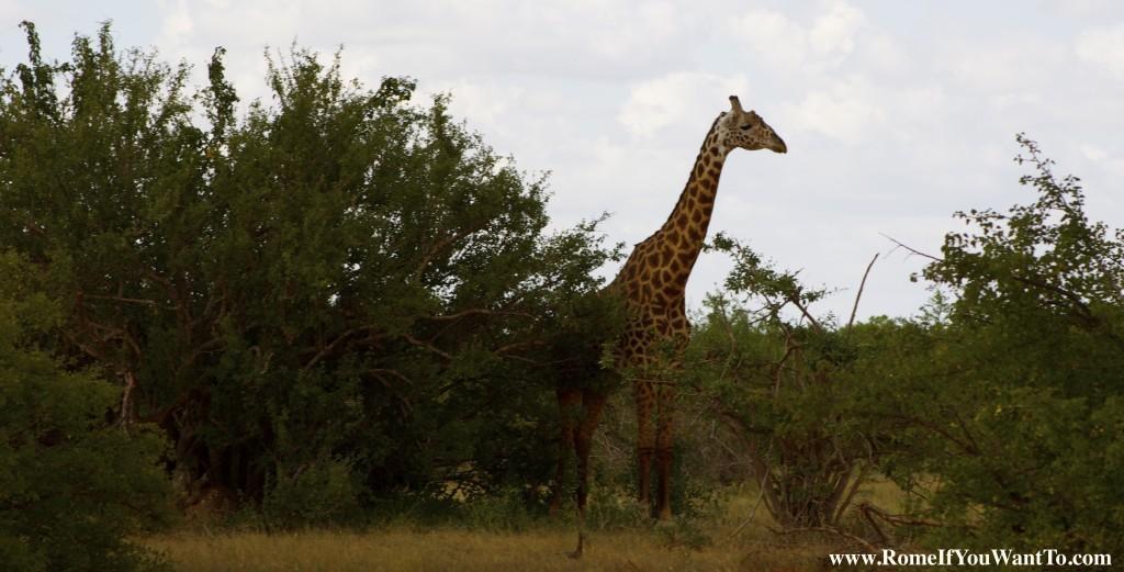 Kenya Giraffe 4