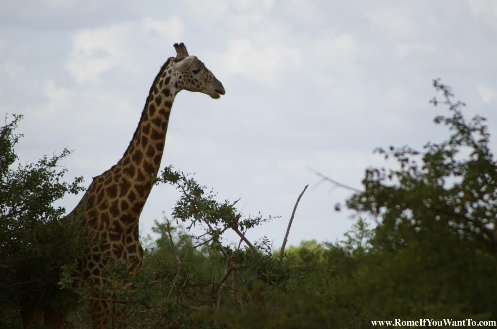 Kenya Giraffe 5