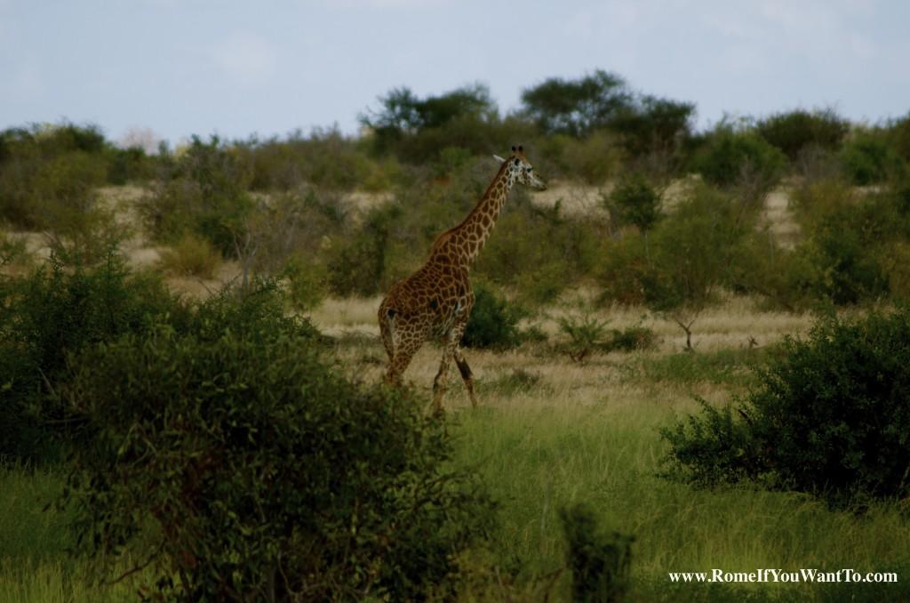Kenya Giraffe 3