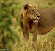 Kenya Lion 6
