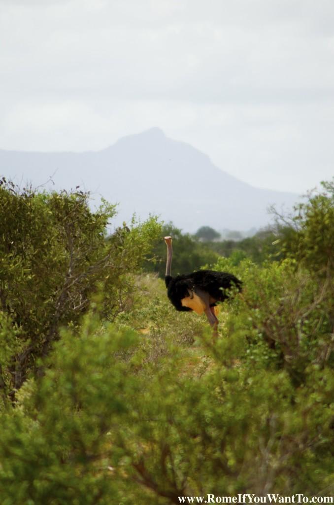 Kenya Ostrich