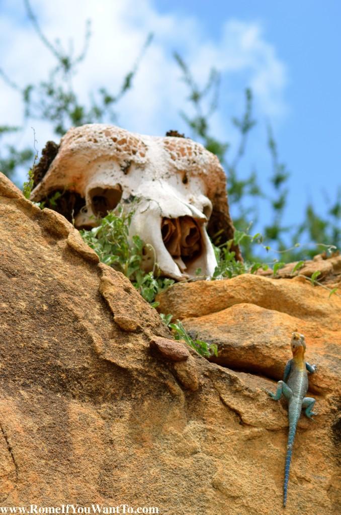Kenya Reptile and Skull
