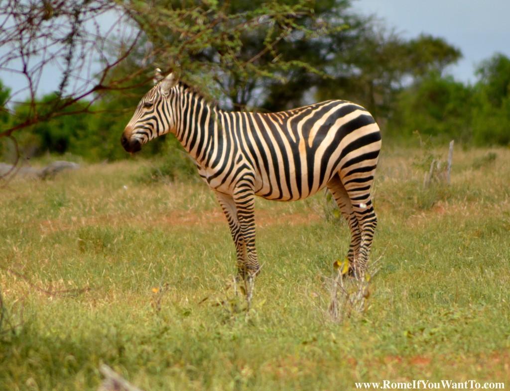 Kenya Zebras 4