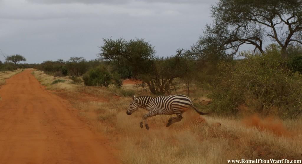 Kenya Zebras 3