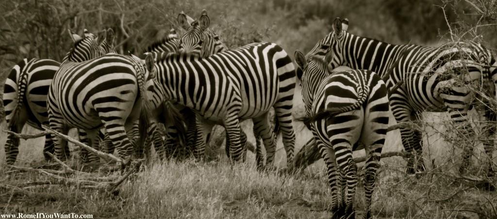 Kenya Zebras 6