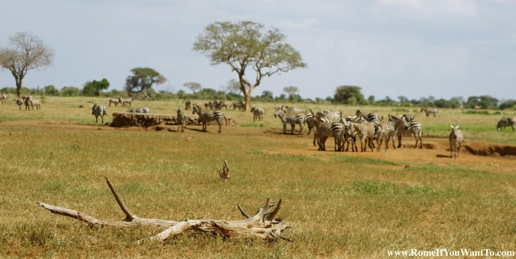Kenya Zebras 2
