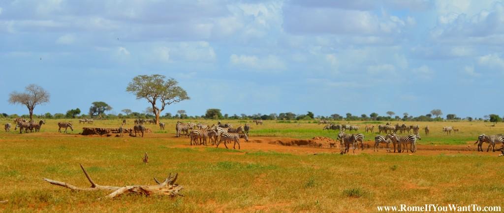 Kenya Zebras 1