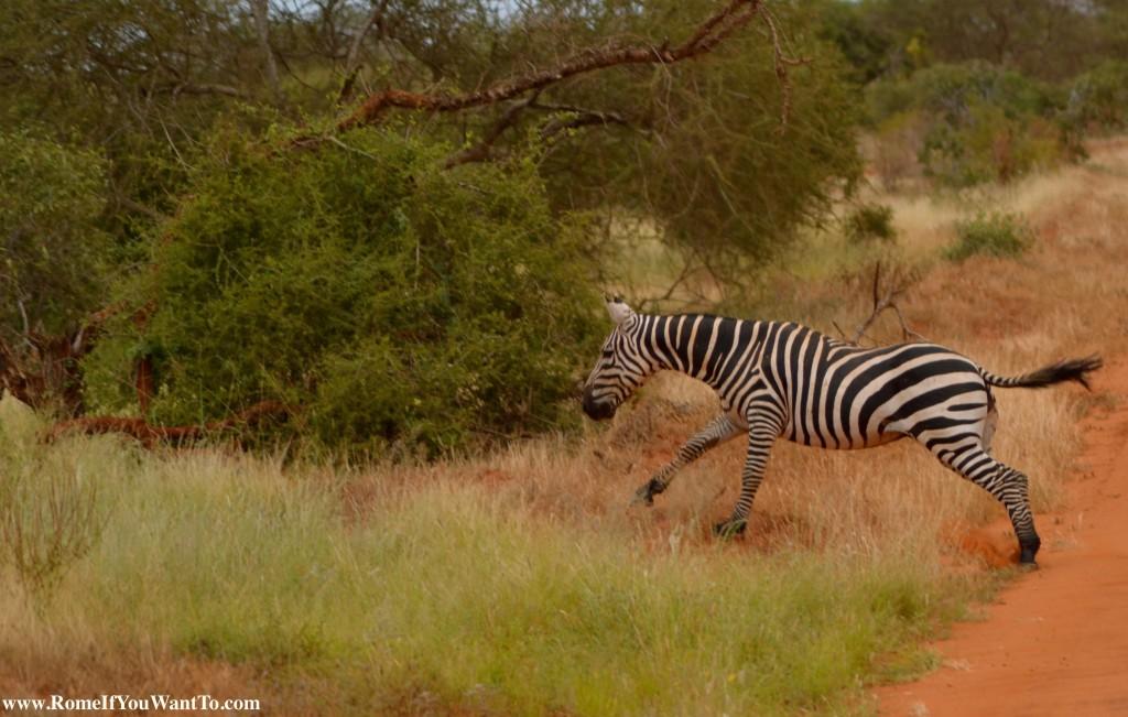 Kenya Zebras 7