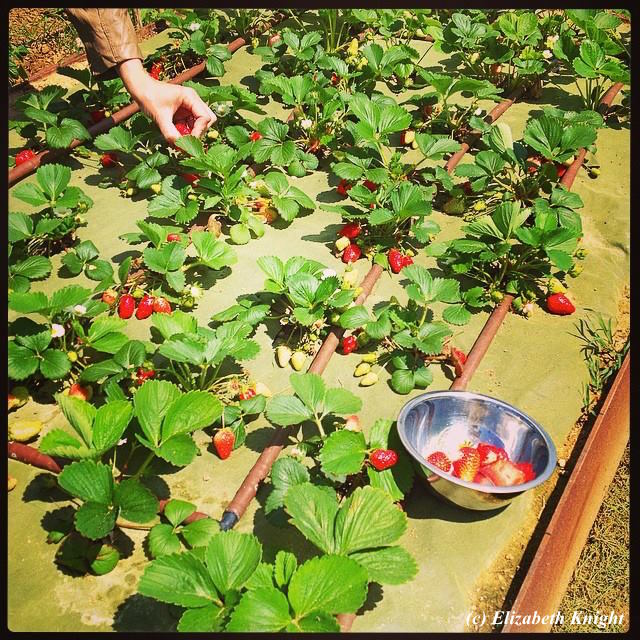 Umbria - Il Fontanaro Strawberry Garden
